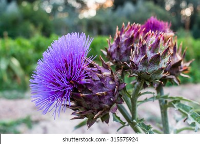 Bunch of spiked purple cardoon (Cynara cardunculus) blossomed flower. The stems of this edible thistle-like plant, usually grown in orchards, are common in mediterranean cuisine for Christmas dinner.