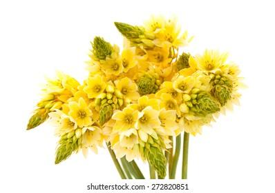 Bunch of  star-of-bethlehem flowers isolated on white background