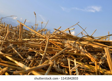 Bunch of straw, golden light and blue sky, harvested field, stubble.