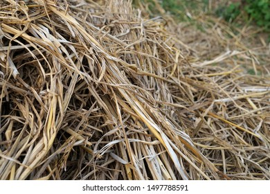Bunch of straw hay on rice field background photo