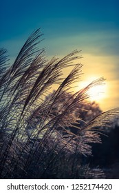 Bunch of tall grass as silhouette at sunset twilight sky (copy space)