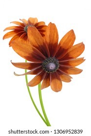 Bunch of two black eyed susan, rudbeckia branches isolated white