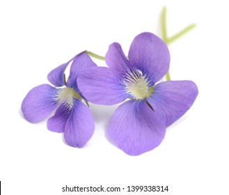 Bunch of two viola odorata flowers isolated on white background