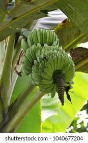 Bunch of unripe banana on tree. (Selective focusing)
