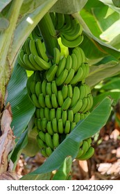 Bunch of unripe green bananas hanging on a tree. Photo is taken on Madeira island, Portugal