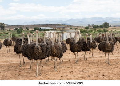 Bunch of very interested ostriches near Oudtshoorn on the Route 62, South Africa