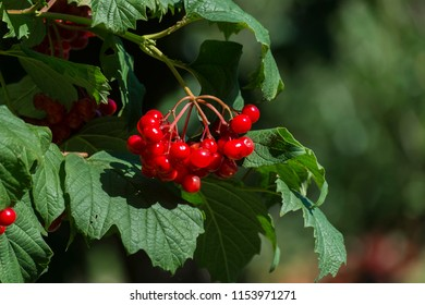 Bunch of viburnum. Bright red ripe juicy berries of guelder-rose in green foliage (Viburnum opulus)