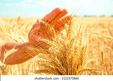 bunch of wheat in the hands