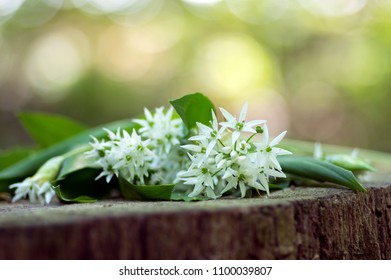 Bunch of white allium ursinum herbaceous flowers and leaves on wooden stump in hornbeam forest, amazing springtime bear garlic herbs foliage