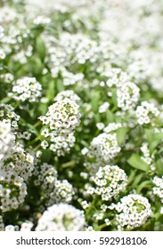 Bunch of white allyssum flowers