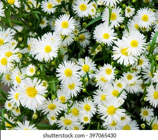 Bunch of white aster flowers; Flowering plant in autumnal garden;