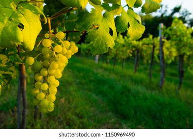 bunch of white grape hanging on vine plant at sunset