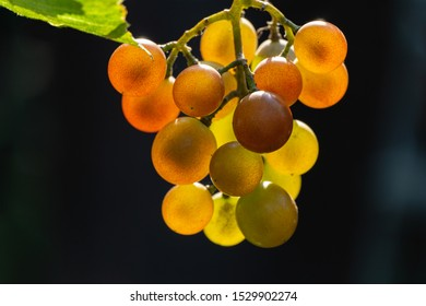 Bunch of white grapes against sunlight on black background. Natural light in the garden. Selective focus. There is place for text