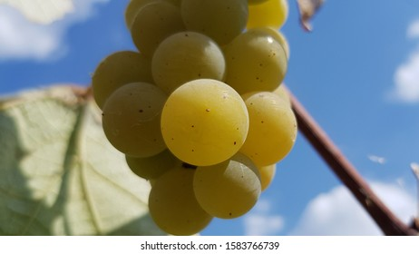 "A bunch of white grapes ""gold"" on a vine branch in the blue sky"