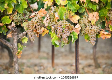 bunch of white grapes for white wine in vineyard before harvest