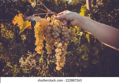 Bunch of white grapes in woman's hand. Toned picture