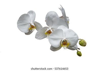 Bunch of white orchids with buds and yellow center isolated on white background no stem