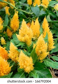 Bunch of Woolflower Plumes