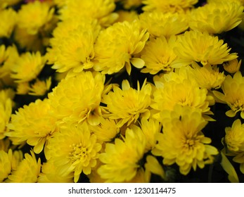 Bunch of yellow chrysanth flowers