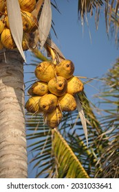 A bunch of yellow coconuts on a blue sky background