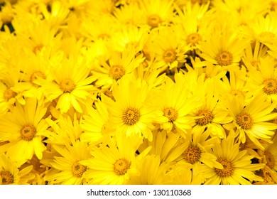 Bunch of Yellow Daisies