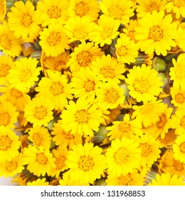 Bunch of yellow daisies texture background. Close-up square sample.