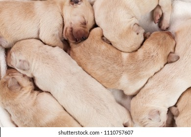 Bunch of yellow labrador puppies sleeping peacefully - closeup