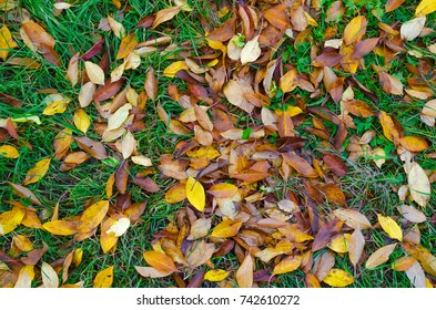 A bunch of yellow and orange leaves of a cherry tree laying on the still green autumn grass.