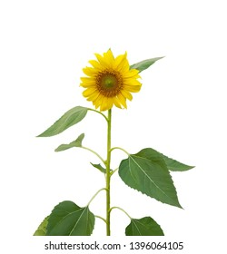 Bunch of Yellow petals of Sunflower blooming on stem and green leaves isolated on white background, die cut with clipping path