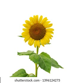 Bunch of Yellow petals of Sunflower blooming on stem and green leaves isolated on white background, die cut with clipping path image