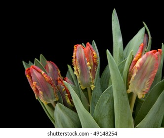 bunch of  yellow and red parrot tulips isolated on black