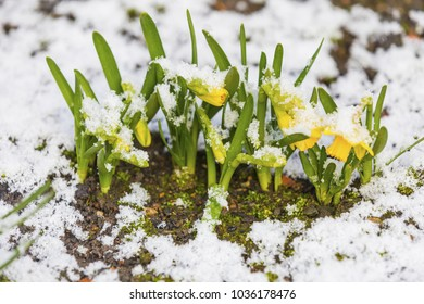 Bunch of yellow spring daffodils flowers covered by snow outdoors.