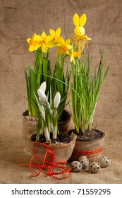 Bunch of yellow spring daffodils on sacking with quail eggs