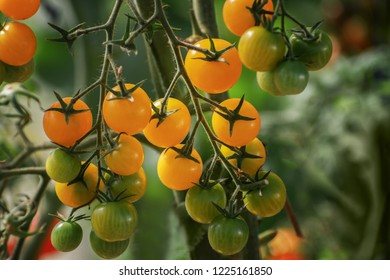 A bunch of yellow tomatoes. Yellow tomatoes on a branch in a greenhouse. Fresh harvest