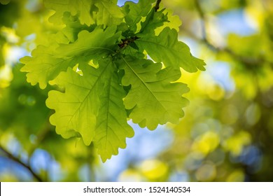 Bunch of young oak leaves in spring