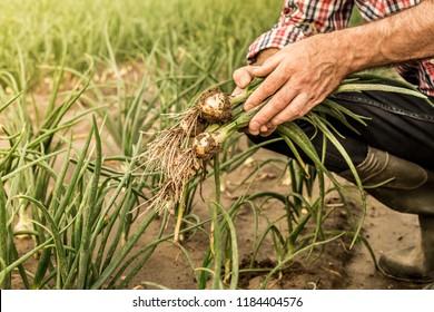 Bunch of young onions in farmer's hands - close up. Agriculture - fresh spring harvest from the field. Country outdoor scenery.