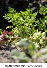 bunch of young parsley in a raised bed