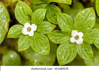 Bunchberry flower, cornus canadensis on the trail to Sol Duc Falls in the Olympic National Park in Washington.