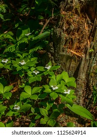 Bunchberry flowers beside a decaying stump