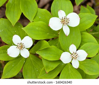Bunchberry flowers  Cornus canadensis or creeping dogwood  grow as a carpet of wildflowers on the forest floor in boreal forest taiga of the Yukon Territory  Canada