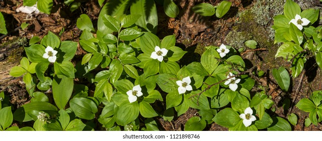 Bunchberry flowers in a forest