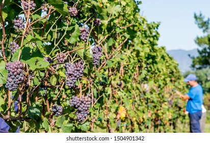 Bunches of black grapes are harvested by agricultural workers during the harvest in a Chianti vineyard, Tuscany, Italy