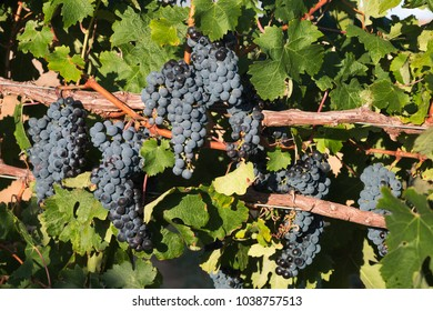 Bunches of black grapes on old vine among green leaves.