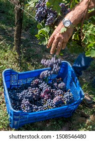 Bunches of black grapes are thrown into plastic crates for the harvest of a vineyard