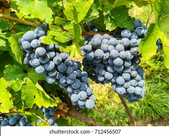 Bunches of black grapes in the vineyards