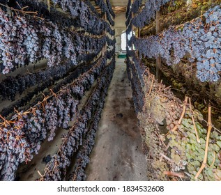 Bunches of black and white grapes are hung in various rows to wither, for the production of the famous vin santo wine, Tuscany, Italy