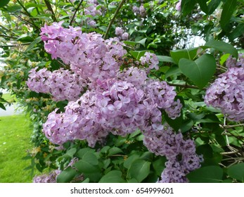 Bunches of blooming lilac