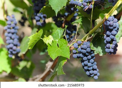 Bunches of Blue grapes at sunny day.
