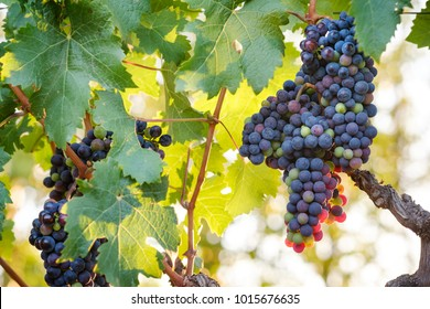 Bunches of Cabernet Franc wine grapes and green leaves on vine with bright sky back-lighting effect.