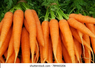 Bunches of colorful orange carrots with green tops held together with elastic bands. Selective focus with space for text.